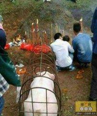 江门村民抬一头百余斤生猪上山祭祖