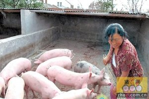 生猪价格开始新轮上涨 金锣康复猪事件成催化剂