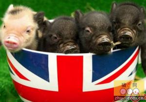与猪同食 伦敦惊现迷你猪咖啡馆