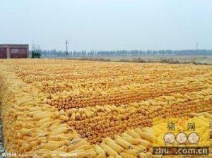 你知道么?我国家畜饲料需求5亿吨 已是口粮需求的2.5倍