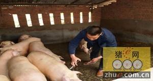 真正养猪人究竟赚了多少钱?