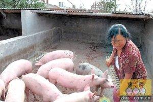 老猪倌笨方法养猪利润大