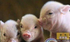 威海生猪收购价连升4周 未来猪价上涨空间不大