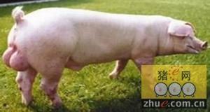 猪的选育过程中要注意猪的健康育种