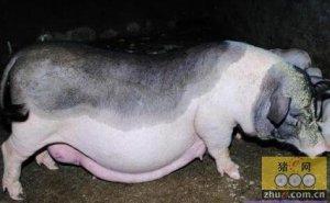母猪维生素营养标准的确定