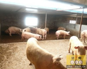倒春寒猪场采暖安全及注意事项