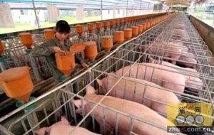 如何确定猪舍的最佳环境?