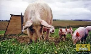 猪肉市场尚未复苏 养殖户不宜长时间过度压栏