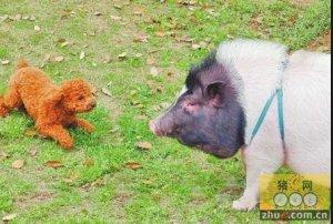 宠物猪学狗叫惊扰邻居 主人无奈求收留