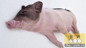 怎样防治猪瘟?