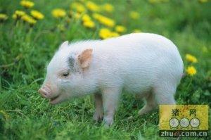 规模猪场急性猪肺疫的治疗方案