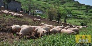 养猪还能有未来吗?