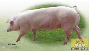 去年我国种猪进口量剧减50%