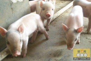 2015年猪市上涨空间很大7-9月份猪价值得期待