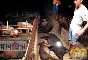 多家养猪场遭到高压电击 事发柳州柳南区太阳村镇