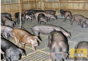 变废为宝 科学养猪有新招