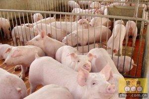 政府扶持到位 养猪户稳中求进