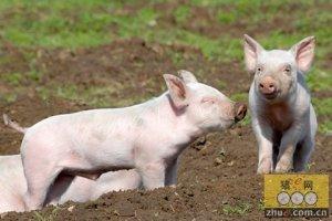 给猪采血四字经