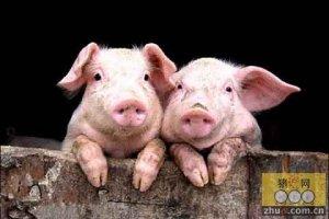 农户养猪应注意什么?