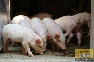"""收猪人的那些""""圈套"""" 你中了吗?"""