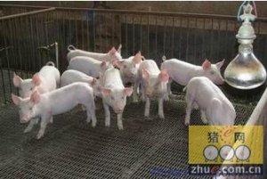 之前的养猪业充满躁动如今开始回归理性