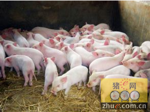 中国畜牧场培养精瘦美味跳水猪 外媒:全球称霸