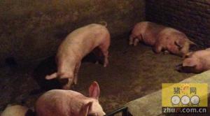 民宅成猪圈熏坏邻居 竟是非法私宰生猪窝点