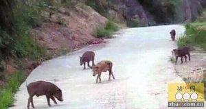 乌克兰基辅郊外野猪检出非洲猪瘟病毒
