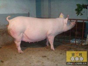 猪是牛市终结者? 两亿股民最终要输给猪?
