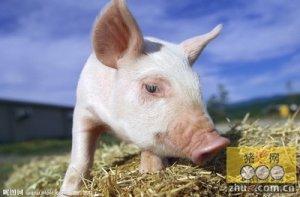 在2015年猪市会上演和