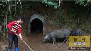 """大别山探访黑猪""""住""""窑洞 感受养猪习俗"""