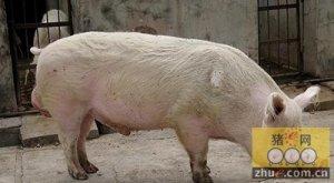 野生灰菜与猪光敏物质中毒