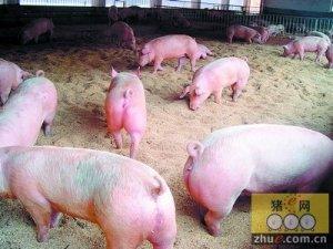 猪价涨的太快和母猪存