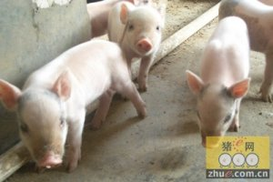 江苏如皋近期生猪价格上涨约5%