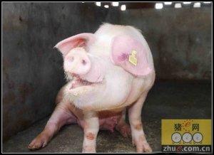 泰万菌素和金霉素可以改善猪的呼吸道疾病