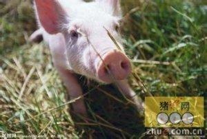 猪爱吃哪些野菜、野草