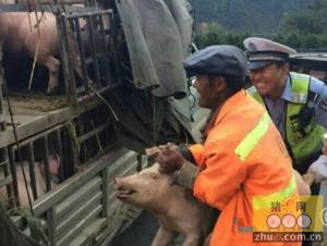 四川雅西高速公路货车侧翻 60只生猪逃出路上狂奔