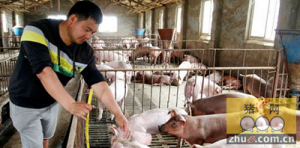 今年肉价涨养猪却没赚头