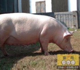 怎样判断母猪配准了