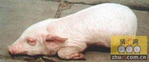 猪呼吸道综合征的发病原因