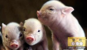 新生仔猪常见病――溶血病