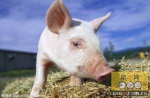 猪易发外科疾病的原因及防治