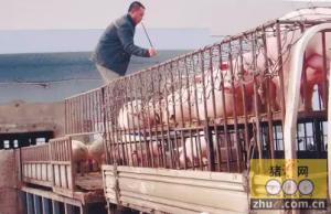 猪贩子联合猪经纪称猪做手脚 每头猪轻了5斤
