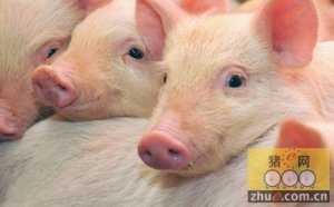 规模化养猪是出路