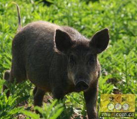 凶猛野山猪 养殖有钱赚