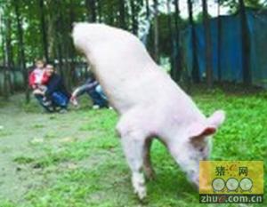 """农户家""""猪坚强""""吸引不少游客"""