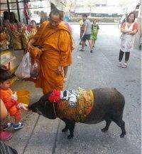 猪也会化缘!泰国野猪跟随僧侣出门化缘