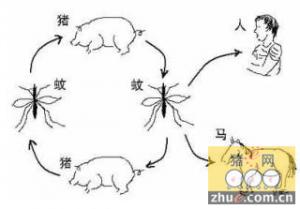 猪为乙脑的主要传染源