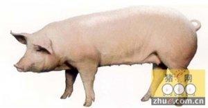 经产母猪屡配不孕的的预防措施及解决方案