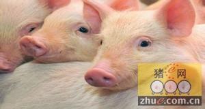 人与猪的思考 ―― 大学生与后备母猪!